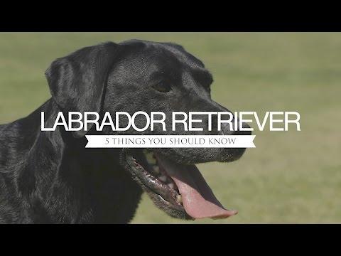 LABRADOR RETRIEVER FIVE THINGS YOU SHOULD KNOW