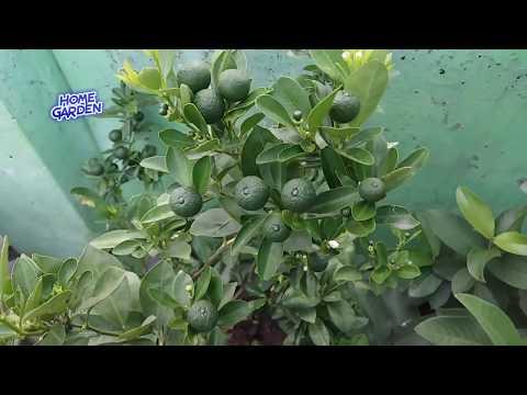 How to Grow Lemon In pot ||  भरपूर नीबू कैसे पायें