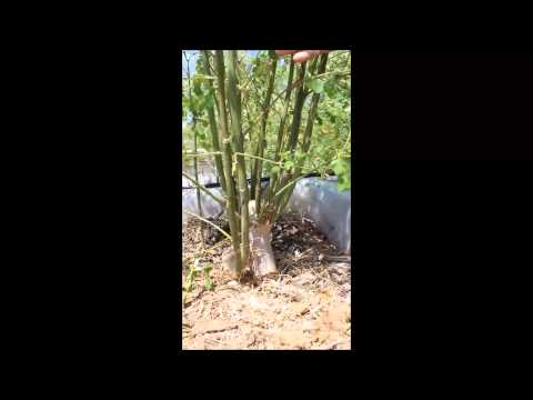 How to Prune Moringa for More Leaf Production: Continued
