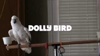 Cockatoo Dancing to Benny Hill Theme Song