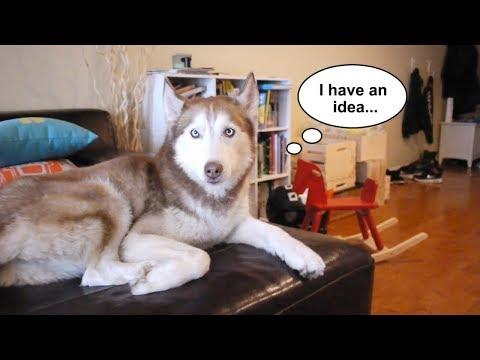 Laika the husky gets left home alone!