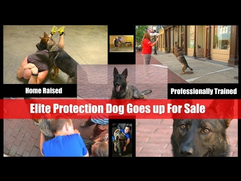 $100,000 Personal Protection Dog For Sale Video Brochure Home Raised Huggable Security