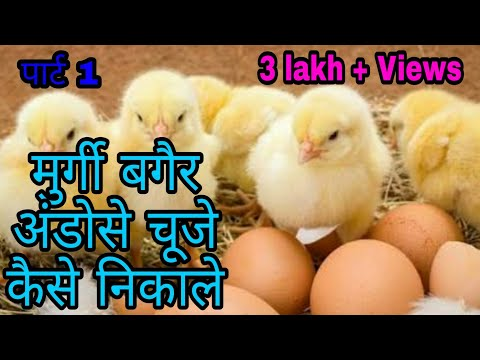 Xxx Mp4 मुर्गी बिना अंडोसे चूजे कैसे निकाले How To Remove Chicken Without Eggs 3gp Sex
