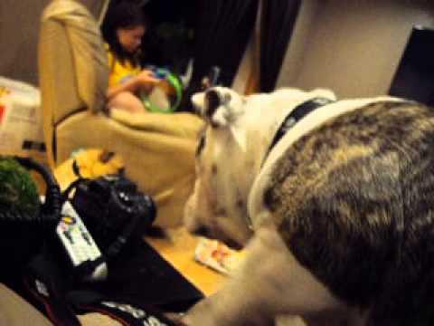 English Bulldog having head tremor