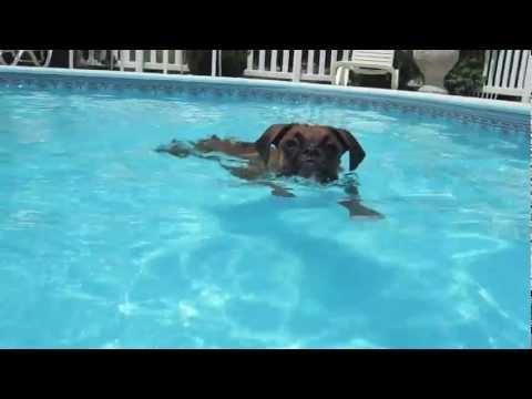 Crazy Swimming Boxer!!
