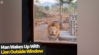 Nature guide wakes up to find male lion staring at him through mesh window
