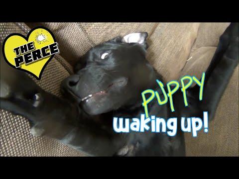 Black Labrador Puppy Waking Up After Deep Sleep