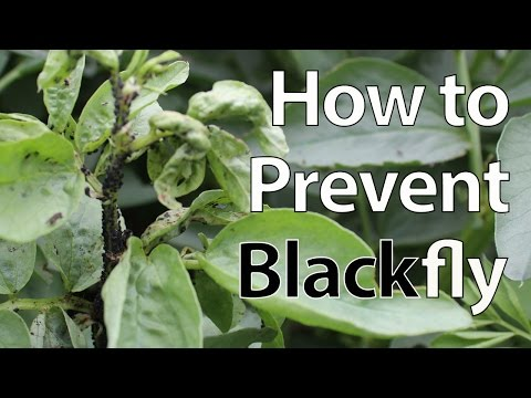 How to Prevent Blackfly from Destroying Broad Bean Plants