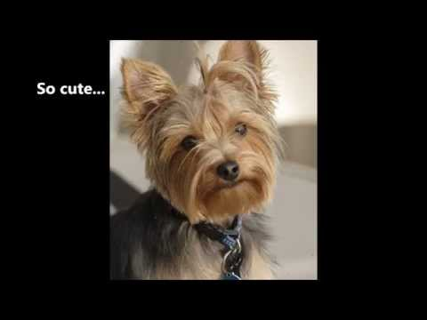 Funny Yorkshire Terrier video - I love Yorkshire Terrier temperament except barking!