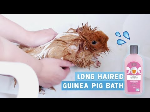 How to Bath & Dry Long Haired Guinea Pigs!