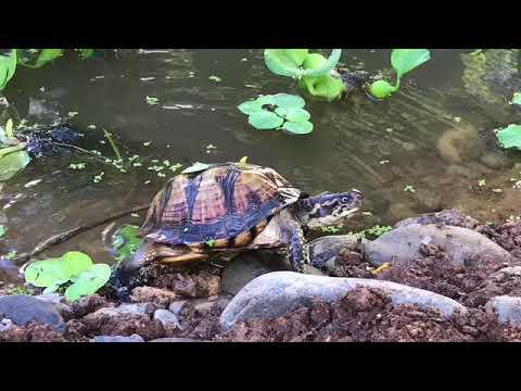 DIY Turtle pond enclosure build at BYT