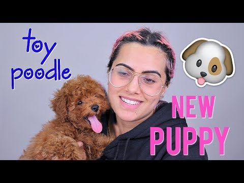 MEET MY NEW PUPPY: TOY POODLE | BodmonZaid