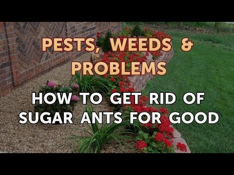 How to Get Rid of Sugar Ants for Good