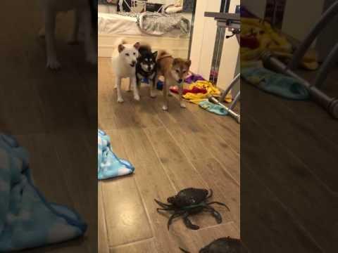 3 dogs VS crabs