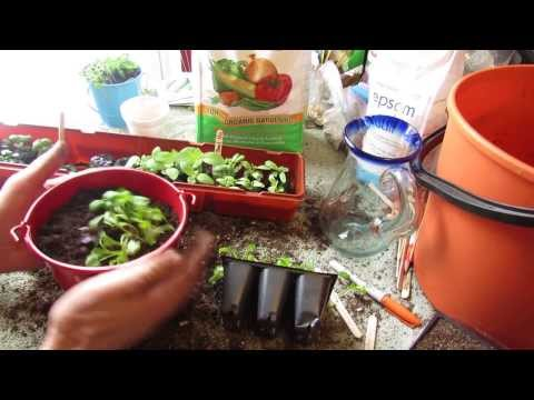 How to Make Cilantro and Basil Windowsill Herb Pots: Transplants! - MFG 2014