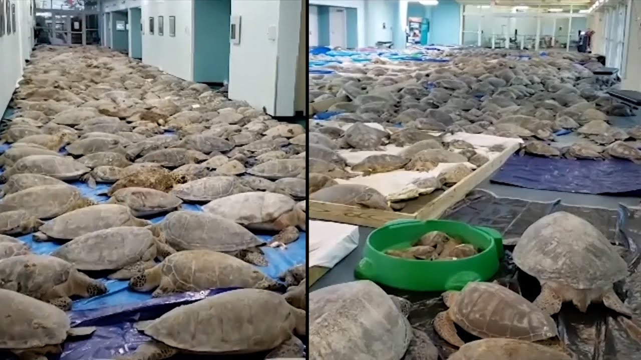 Volunteers Try to Save 3,500 Sea Turtles From Cold Weather