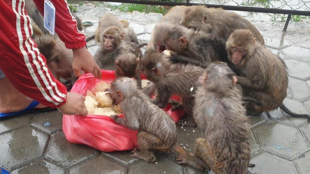 Feeding juicy hot rice ball to the hungry monkey at rain | monkey love rice ball | monkey food