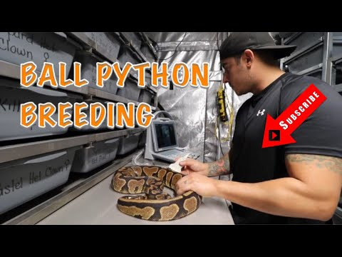 BALL PYTHON BREEDING  AND PIED GIVEAWAY UPDATE