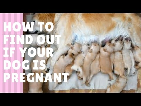 How To Tell If your Dog Is Pregnant! (Symptoms & Behaviour)