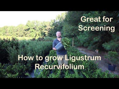 Ligustrum Recurvifolium is the make your neighbor go away plant