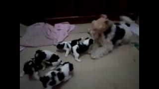Fox Terrier Tricolor Nascidos 23/06/2016 A Venda Ml