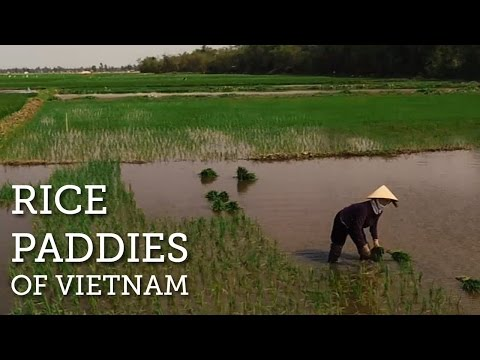Stunning Rice Paddies of Vietnam