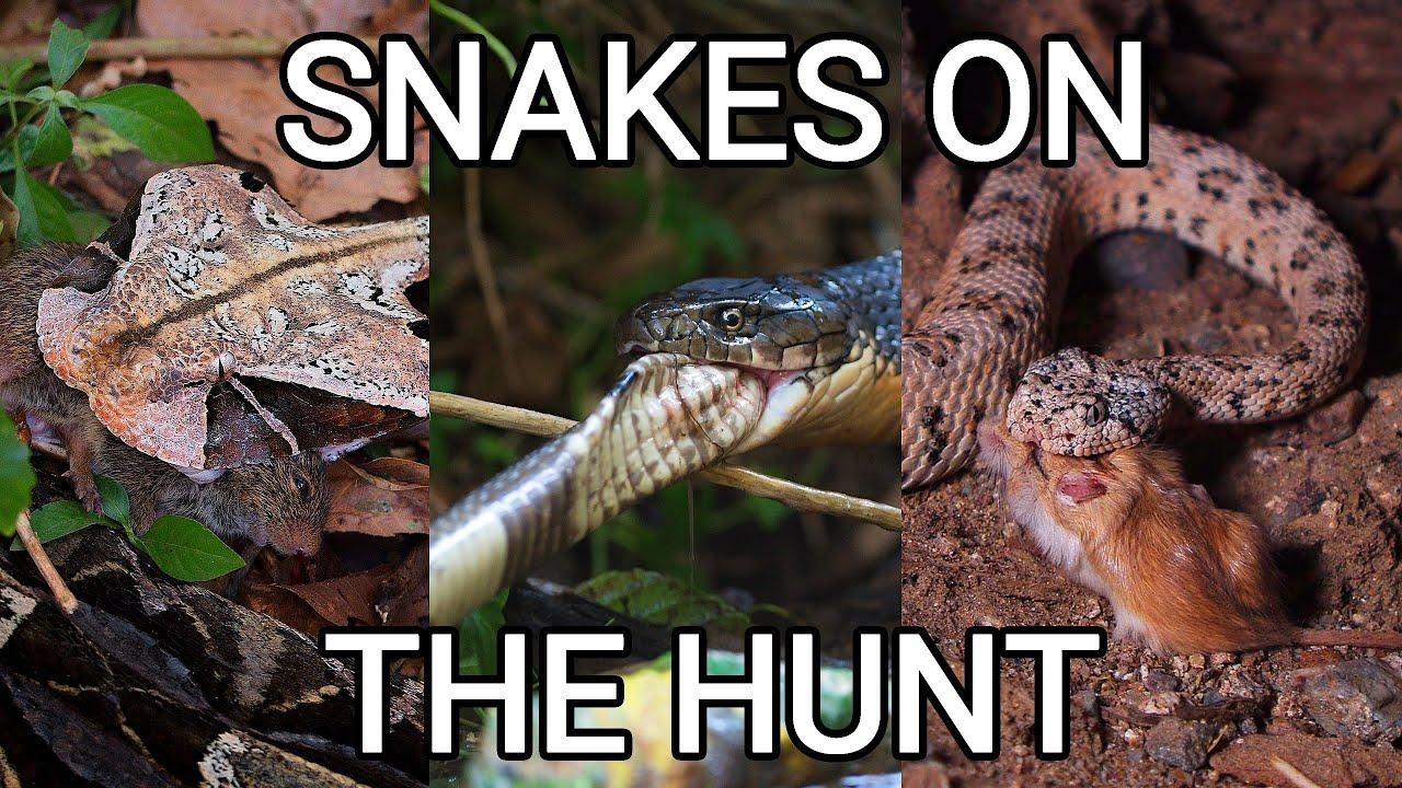 Snakes on the hunt, venomous King cobra, rattlesnake, pit viper, Gaboon viper, Grass and Dice snake
