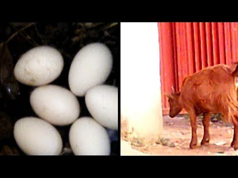 A GOAT LAYING CHICKEN EGGS