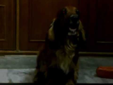 Congestive heart failure in Dogs (Last Breaths)