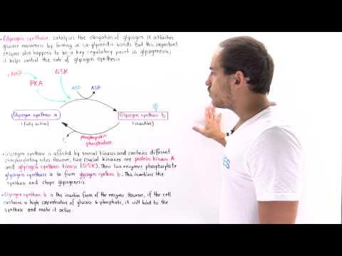 Glycogen Synthase Regulation