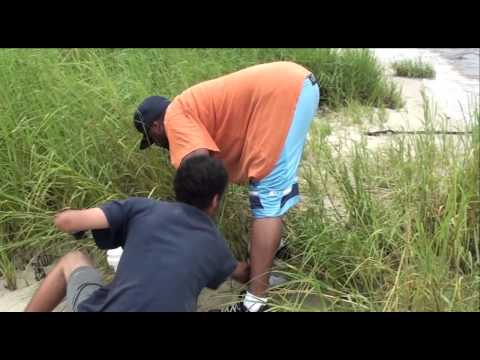 How to Catch Fiddler Crabs for Sheepsheads fishing
