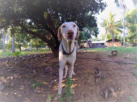 Video #3: Breed Focus: The Rajapalayam Dog by Mr. Pon Elangovan [Subtitles in English]