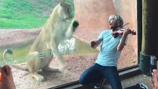 Lioness Jumps Toward Violinist Serenading Her