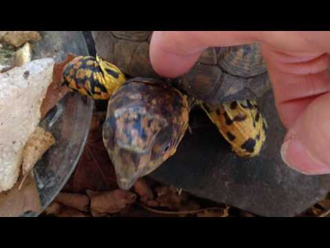 BOX TURTLES ARE NOT PETS!!!! Sparky Vid