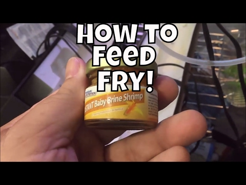 Fry Fry Fryday #5 Feeding Instant Brine Shrimp from Ocean Nutrition