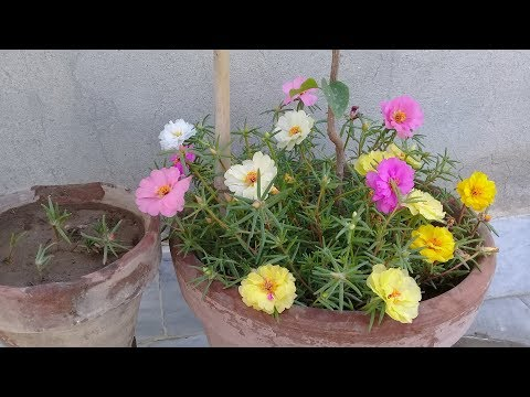 How to grow portulaca grandiflora from cutting | Gul-e-dopehri propagation | Rose moss | 9 O'clock