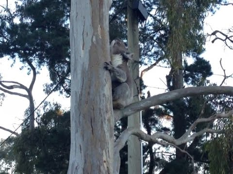 Koala gets lucky with Freaky Mating Call
