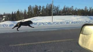 Woman Races Wolves in Car