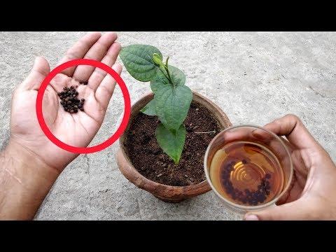 काली मिर्च घर में उगाने का TOP SECRET तरीका
