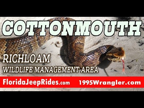 Cottonmouth on the Richloam Trails Aug 2018 Florida Jeep Rides