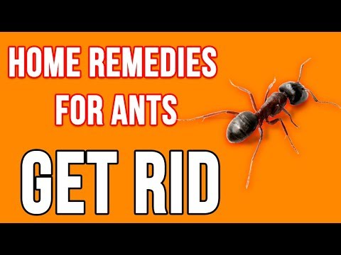 Top 6 Home Remedies For Ants | How to Get Rid of Ants Fast Naturally