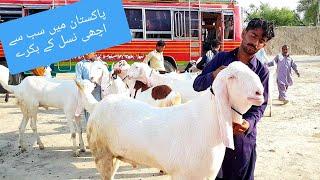 222 | BAKRA MANDI 2019 SAHIWAL | BAKRI KA RATE COW K RATE K