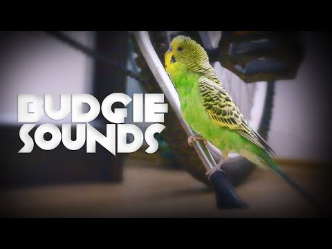 Budgie singing | Budgie sounds