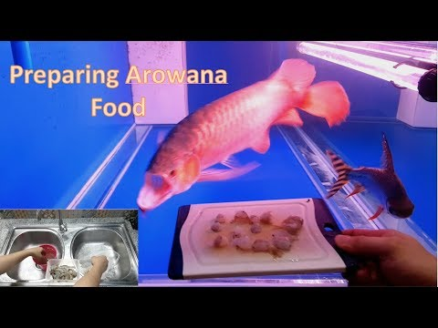 Preparing Arowana Food