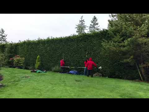 Trimming a Huge Hedge 320ft