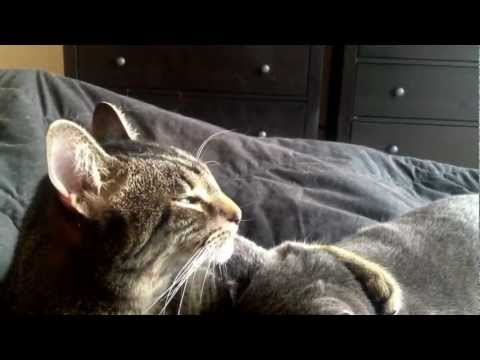 Longest cat licking another cat's ear/ cat ear cleaning.