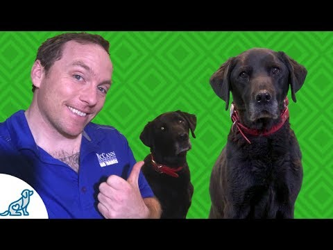 Labrador Retriever Training- How This Lab Changed My Life