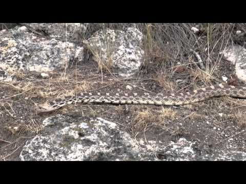 Gopher Snake - Yellowstone  August 2014
