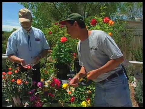 How To Prune Roses In The Summer