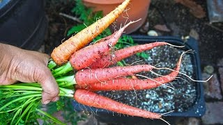 Growing Carrots in Containers - Delicious \u0026 Healthy!